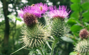 35-Spear_Thistle