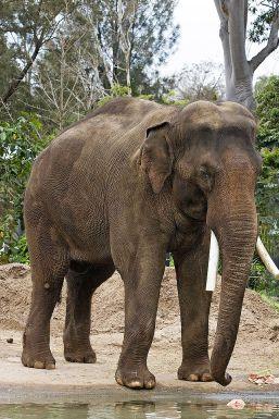 640px-Asian_elephant_-_melbourne_zoo