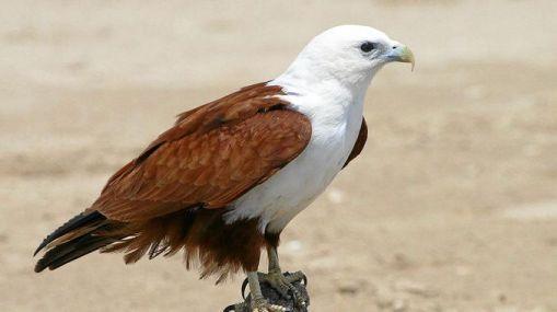 Brahminy -kite