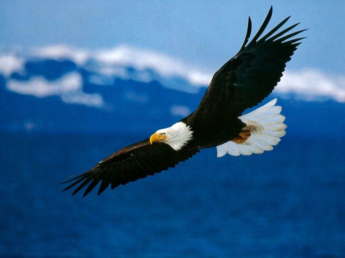 bald-eagle-wallpaper-3