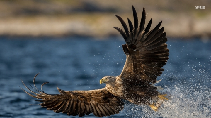 white-tailed-eagle-with-a-fish-in-its-claws-49058-1366x768.jpg