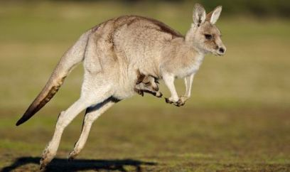 Kangaroo-top-ten-facts-441768