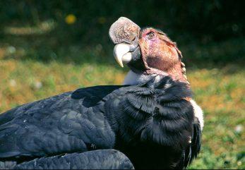 andean-condor