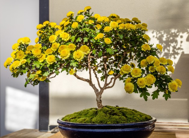 155597_Chrysanthemum_Bonsai_Donham_Richard_Longwood_Volunteer_Photographer_