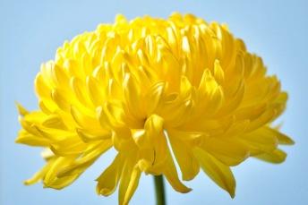 Yellow_Chrysanthemum