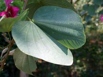 Bauhinia_Leaf