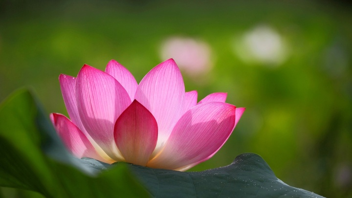 pink-lotus-flower-green-leaves-blur-background_1920x1080