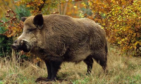 A-wild-boar-in-autumn-for-008.jpg
