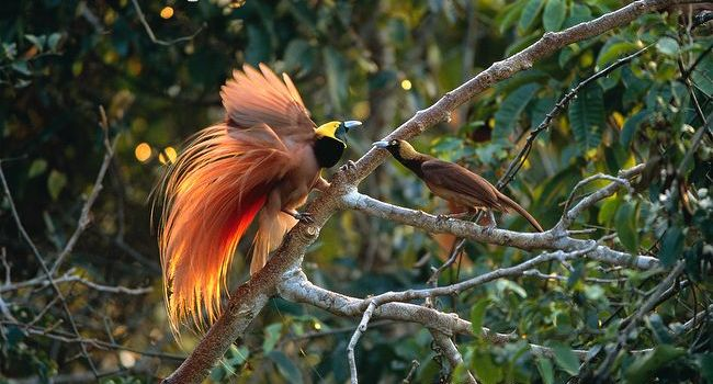 Raggiana-bird-of-paradise-male-displaying-to-female-on-branch
