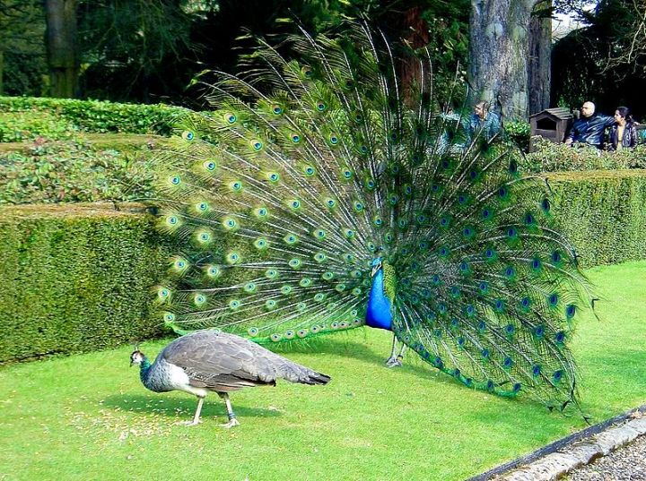 800px-Peacock_Wooing_Peahen.jpg