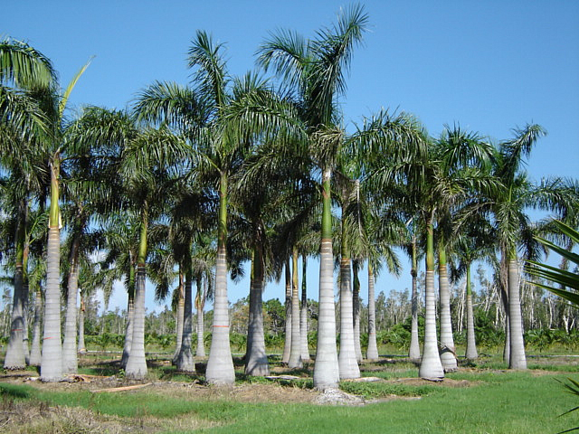 cuban-royal-palm2