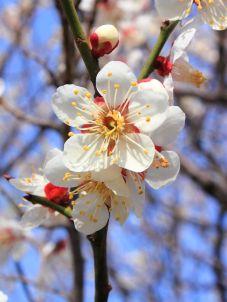 800px-Prunus_mume.JPG