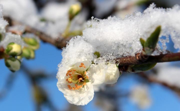 plum-blossom-1353813_960_720