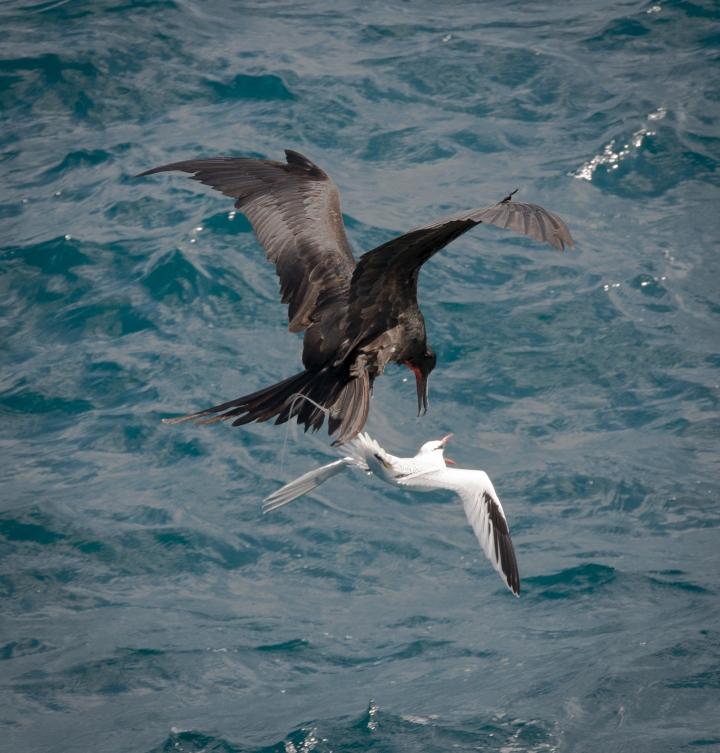 frigatebird-attacks-tropicbird-winkyintheuk-cc.jpg