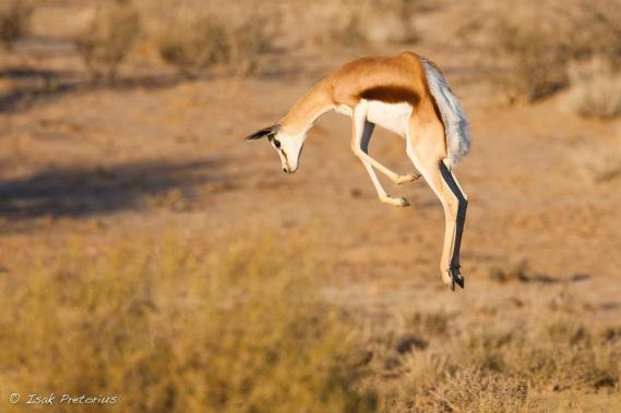pronking-springbok-isak-pretorious-wildlife-photography.jpg