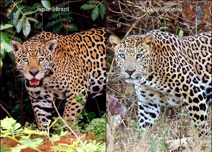 JaguarvsLeopard-by-PraveenSiddannavar.jpg