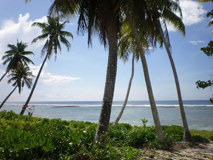 800px-Coconut_tree,_Falealupo_village,_Samoa.JPG