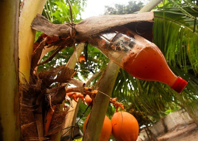 ruou-dua-coconut-wine3.jpg