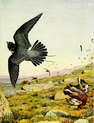 Falconry_sport_of_kings_(1920)_Peregrine_falcon_striking_red_grouse.png