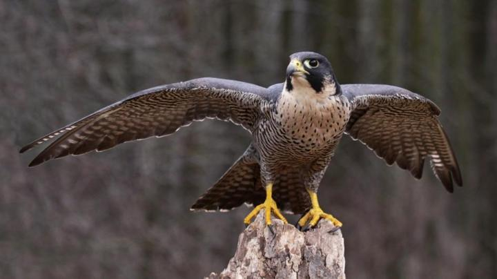 peregrine-falcon-wings-extended.adapt.945.1.jpg