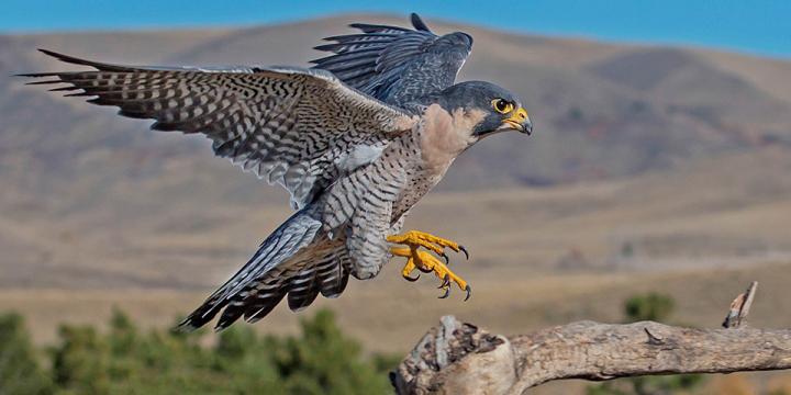 peregrine-falcon_dawnkey-istock.jpg
