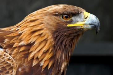 golden-eagle-6_1000.jpg
