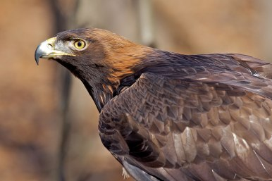 Golden-Eagle-Armenia-National-Bird-2.jpg